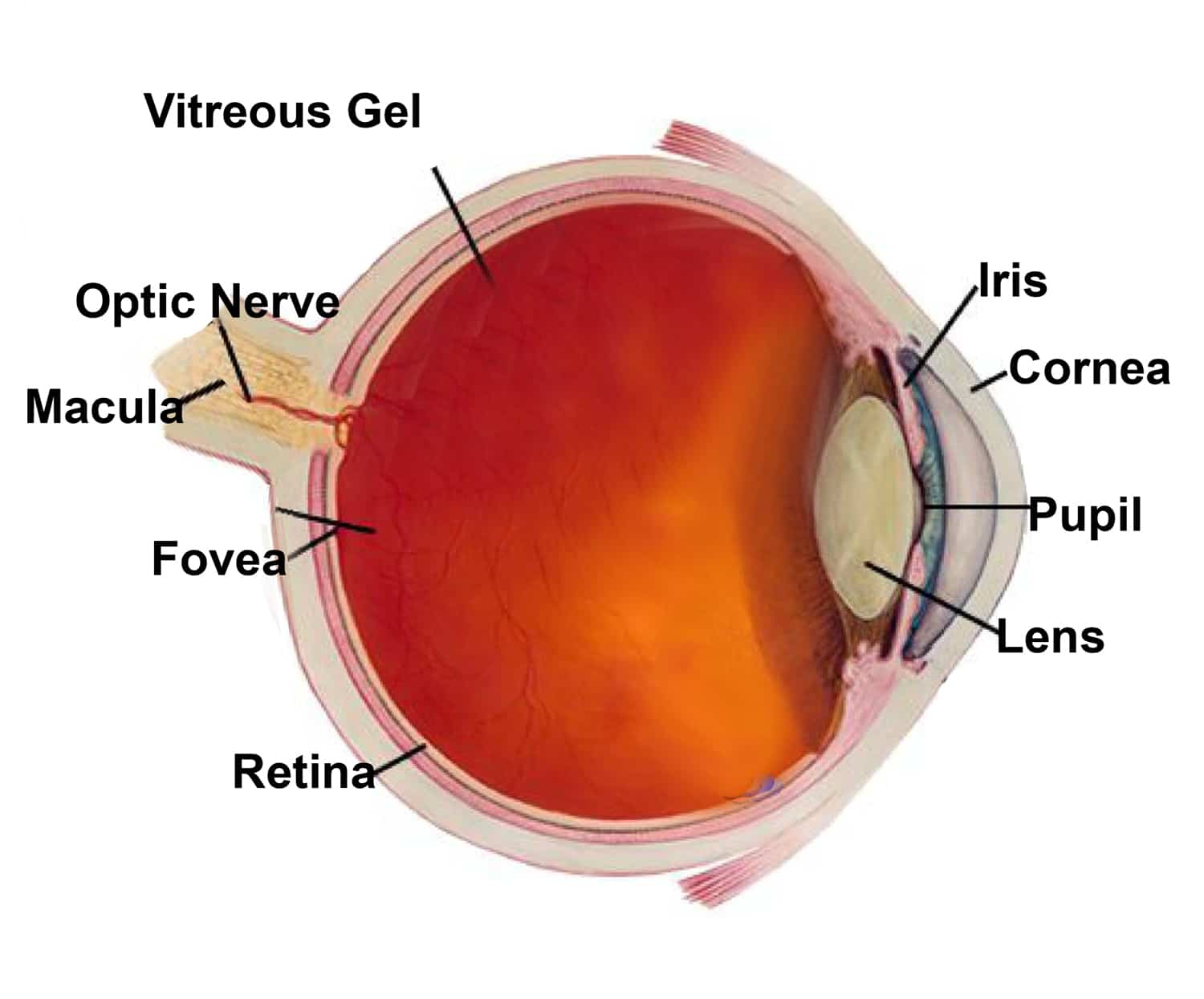 All About Your Eyes, A Closer Look Inside From An Eye Care Doctor ...